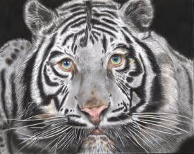 tiger colors white tiger colors by hvhelmut on deviantart