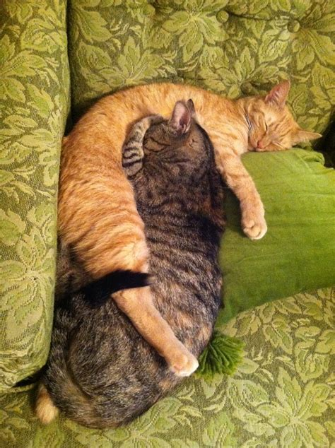 cuddling cats  stock photo public domain pictures