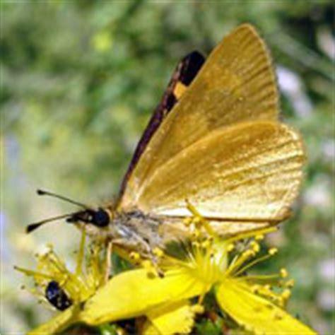 imagenes mariposas doradas mariposas resultado de la busqueda donde viven las