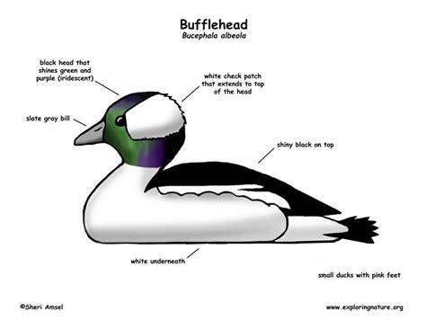 duck diagram how do birds mate diagram