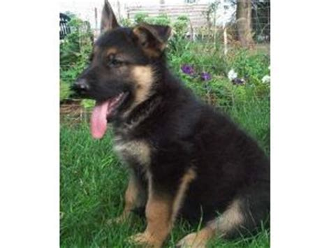 german shepherd puppies for sale florida ta fl german shepherd breeder with puppies for sale design bild