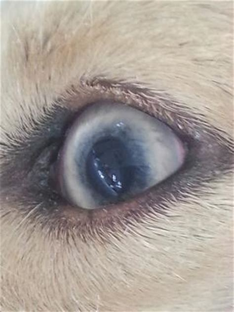 dilated pupils in dogs cloudy discolored swollen eye with dilated pupil
