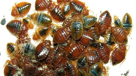types of bed bugs 3 common types of bed bug termites blog