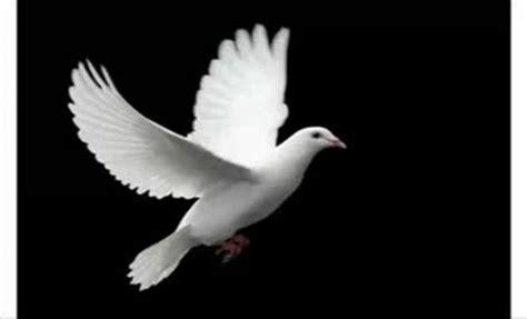 imagenes de palomas blancas gratis palomas fotos imagui
