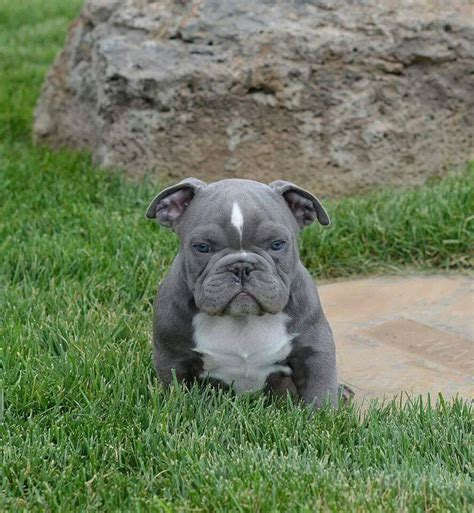 pitbull puppy breeders found a blue pitbull puppy for sale on read this