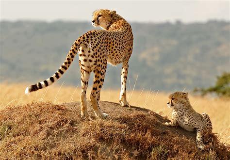 animals nature cheetahs baby animals wallpapers hd