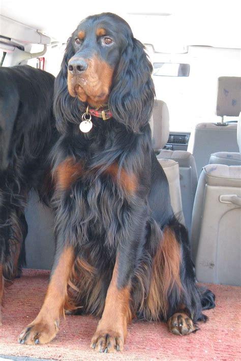 au setter dog lisieux the 25 best gordon setter ideas on pinterest irish