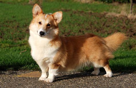 Corky Hund by Corgi Pembroke