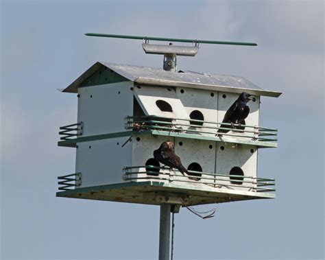 purple martin house purple martin birdspix