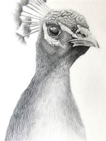 a product of contemplation pencil drawing of peacock