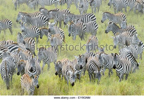 zebra migration pattern migration patterns stock photos migration patterns stock