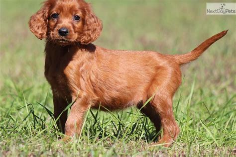 irish setter show dogs for sale meet amber a cute irish setter puppy for sale for 550
