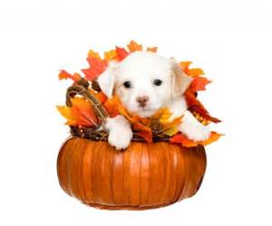 dogs thanksgiving 13 tips to keep your dog safe on thanksgiving