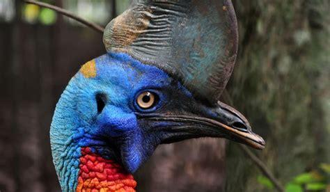the worlds most dangerous bird the cassowary