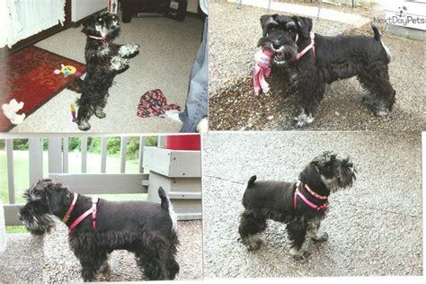 miniature schnauzer puppies for sale in ky b s puppies schnauzer miniature puppy for sale near kentucky 121d828f bfb1