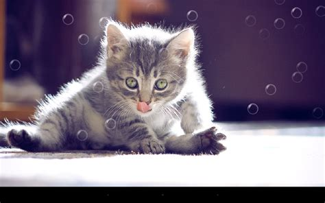 cat live wallpaper for pc funny cat live wallpaper android apps on google play
