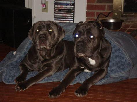 mastiff puppies for sale in nc corso mastiff puppies for sale in nc