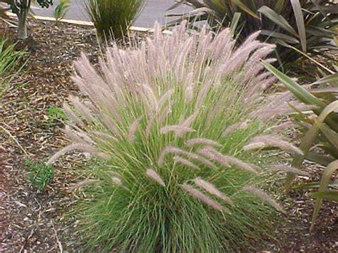 fountain grass foxtail grass   plants