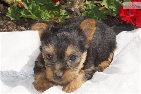 yorkie silky mix puppies for sale silky terrier puppies for sale breeds picture