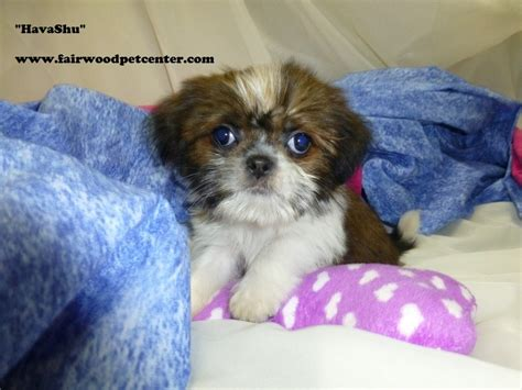 havanese or shih tzu shih tzu havanese our puppies