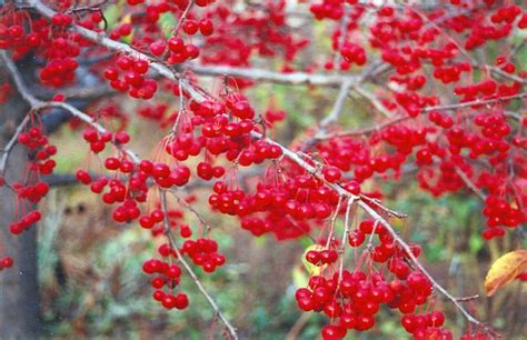 what deciduous tree has berries in winter click to view size photo of sugar tyme flowering crab malus sugar tyme at connon