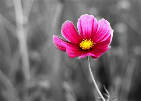cosmo color the real meaning of cosmos flowers you wished to about