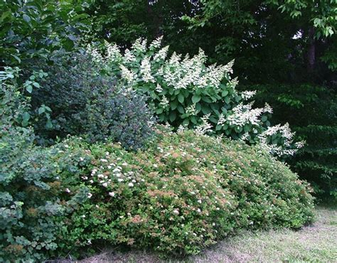 shrub border for privacy great garden ideas pinterest