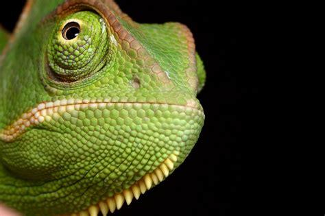 Chameleon Headl chameleon random photographs and chameleon web services