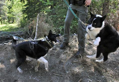 are dogs and bears related karelian dogs the spokesman review