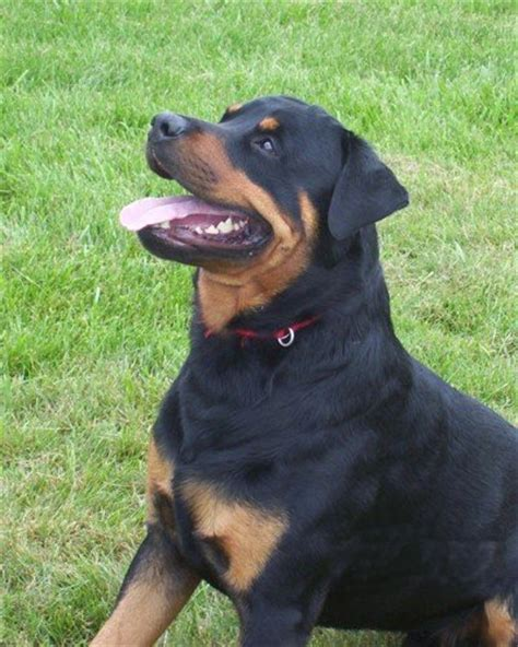 are rottweilers aggressive by nature rottweiler breed information puppies pictures