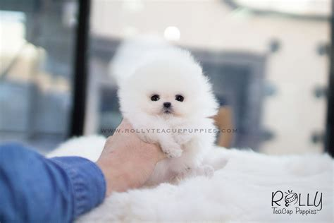 rolly teacup puppies prices aspen pomeranian m rolly teacup puppies