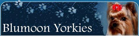 blumoon yorkies yorkies breeders blumoon yorkies akc yorkie puppies akc terriers kansas missouri