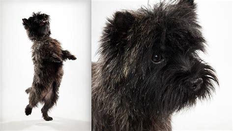 brindle cairn haircut grooming styles for cairn terriers hairstylegalleries com
