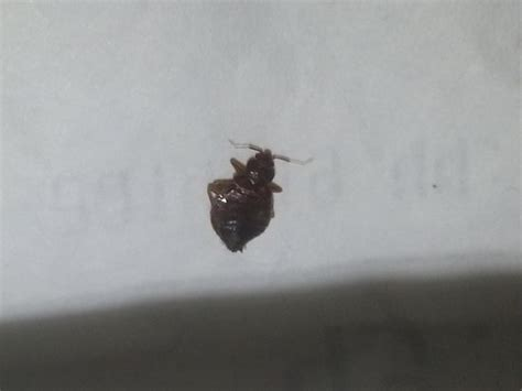 Dead Bed Bugs by Dead Bed Bug Picture Of Heeren House Melaka Tripadvisor