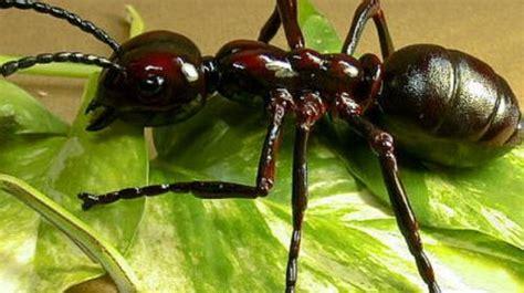 imagenes hormigas negras las hormigas como mascotas canal mascotas