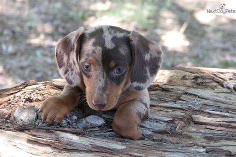 dachshund puppies az dachshund mini puppy for sale near arizona ca7fd9fe a461