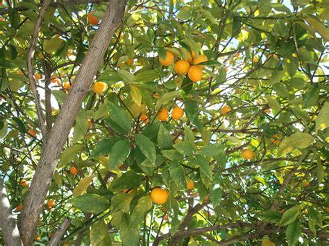 ch 233 rie august 2012 - Kumquat Tree Not Bearing Fruit