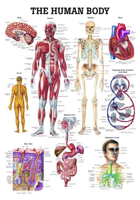 the human body anatomy poster the human body