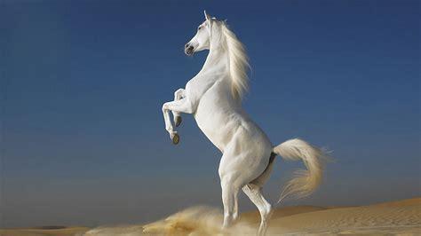 white horse standing  feet desktop wallpaper full