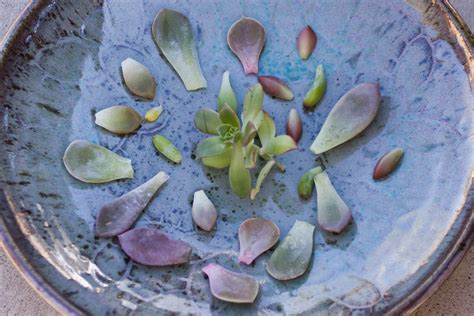 How To Propagate Succulents From Leaves And Cuttings - how to propagate succulents from leaves succulents and