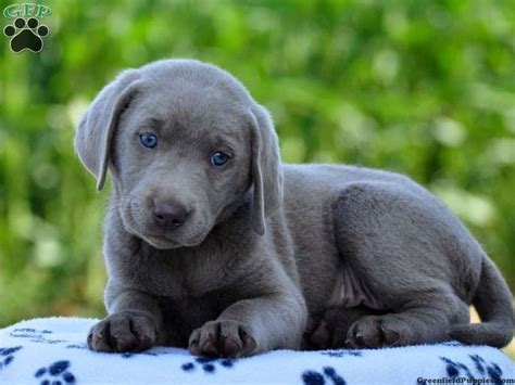 labrador puppies pa look at those gorgeous montana is a silver lab puppy for sale in strasburg pa
