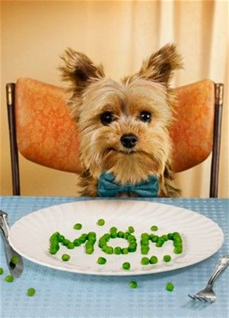 yorkie food pictures of yorkie dogs and puppies pets world