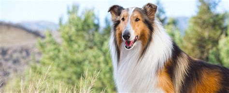 what type of is lassie lassie demolish home coding strategies