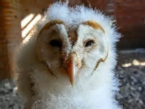 When Do Barn Owls Breed bto bird ringing demog bumper barn owl
