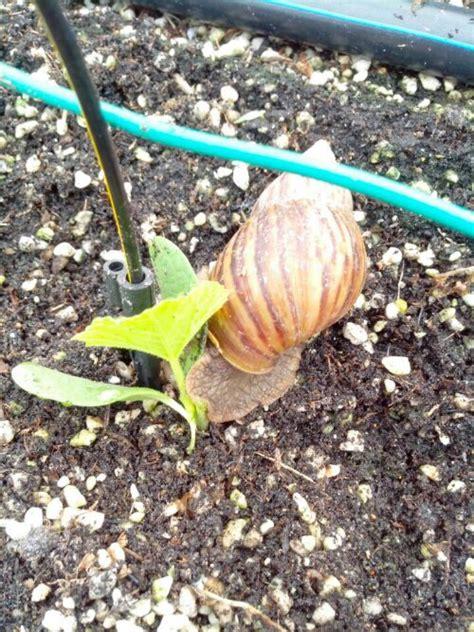 tanaman fertigasi  kitol myagricommymyagricommy