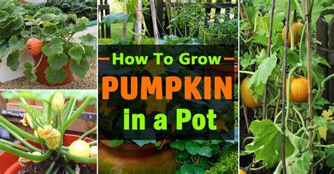 growing pumpkins  containers   grow pumpkins