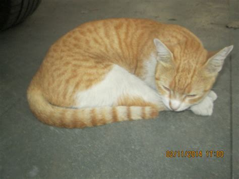 breeds in india cats breeds in india images