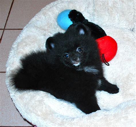 pomeranian puppy tips black pomeranians s pomeranians