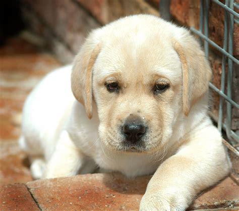 images of labrador puppies jen jen s place august 2010