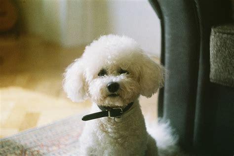 bijon frise puppy bijon frise bijon bichon frise